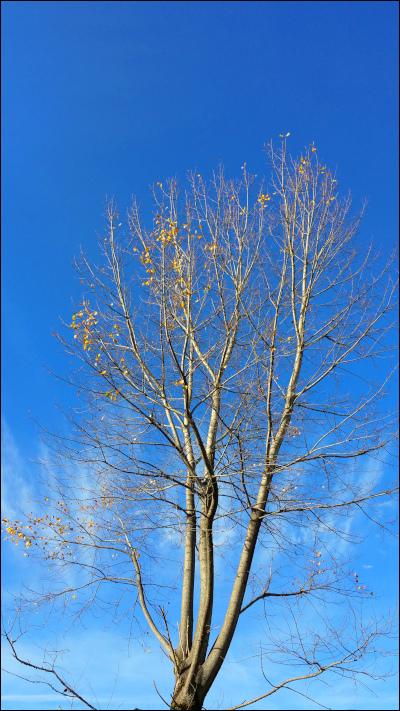 青空を背景に葉が落ちた木