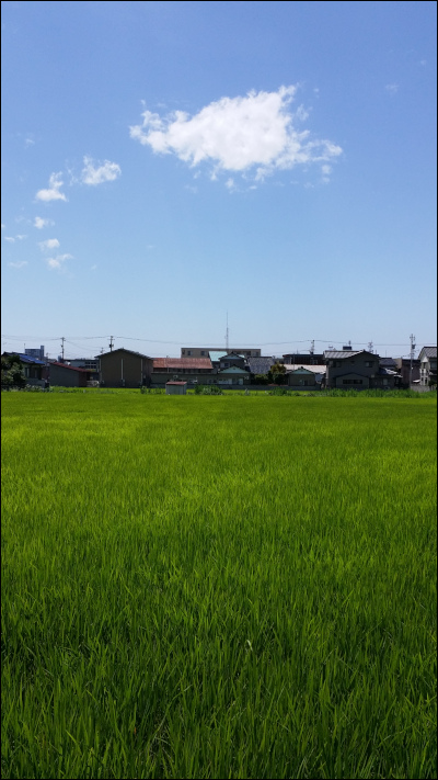 青空のもと育つ稲