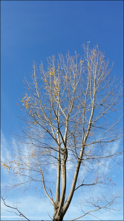 青空を背景に葉が落ちた樹木